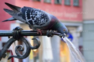 Pigeon drinking water on a hot summer day