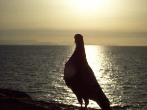 piccione vacanza