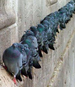 piccioni-fila