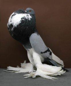 piccione-1