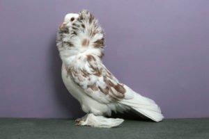 piccione-2
