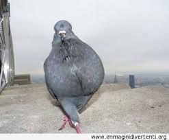 piccione-fashion